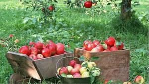 دوران جمعبندی و چیدن سیبها